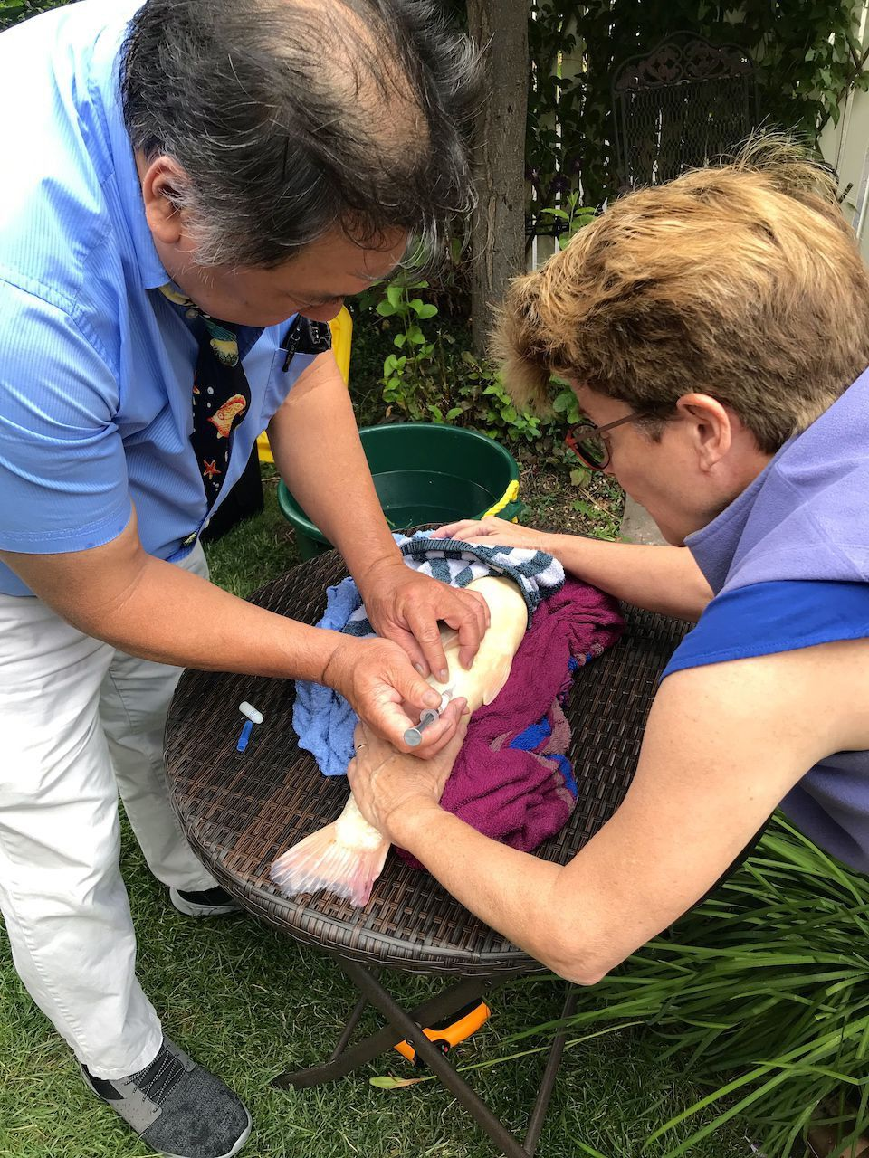 Dr. Pei doing a house call for Koi treatment