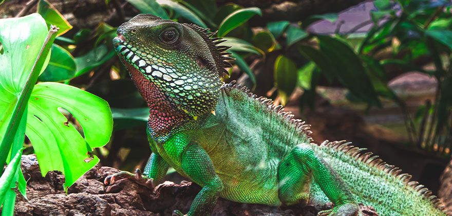 exotic green iguana sitting on a small log at church ranch veterinary center